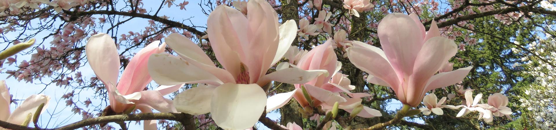 Ask an Expert! Magnolias