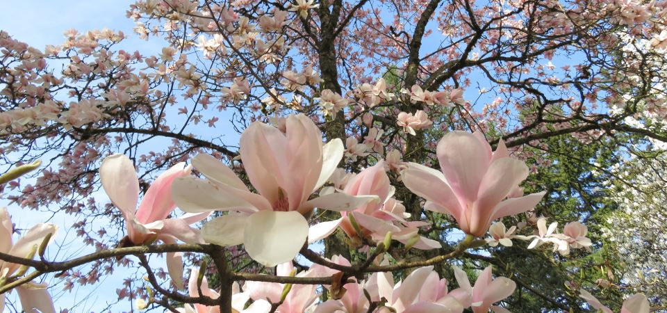 Guided Hike – Flowering Trees, Shady Conifers, & Roses!
