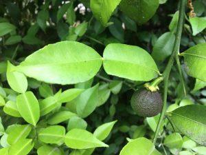 Citrus 'Ichang Papeda'